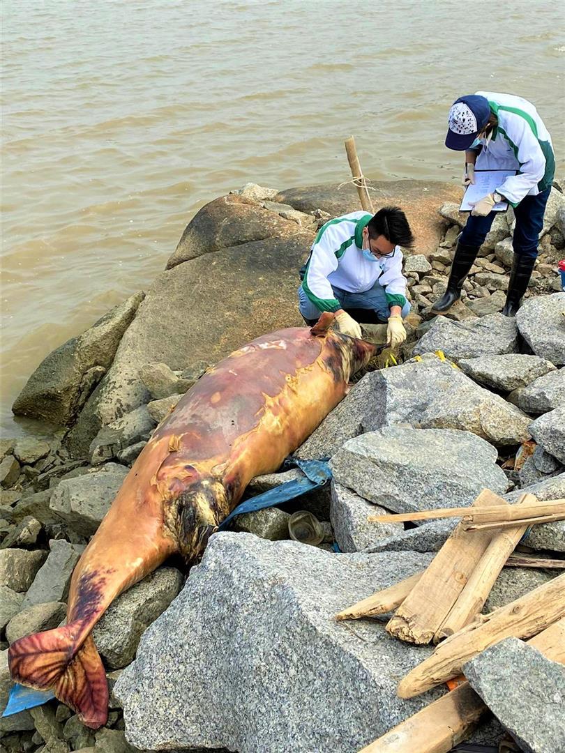 路环九澳三圣庙外石滩发现中华白海豚屍体