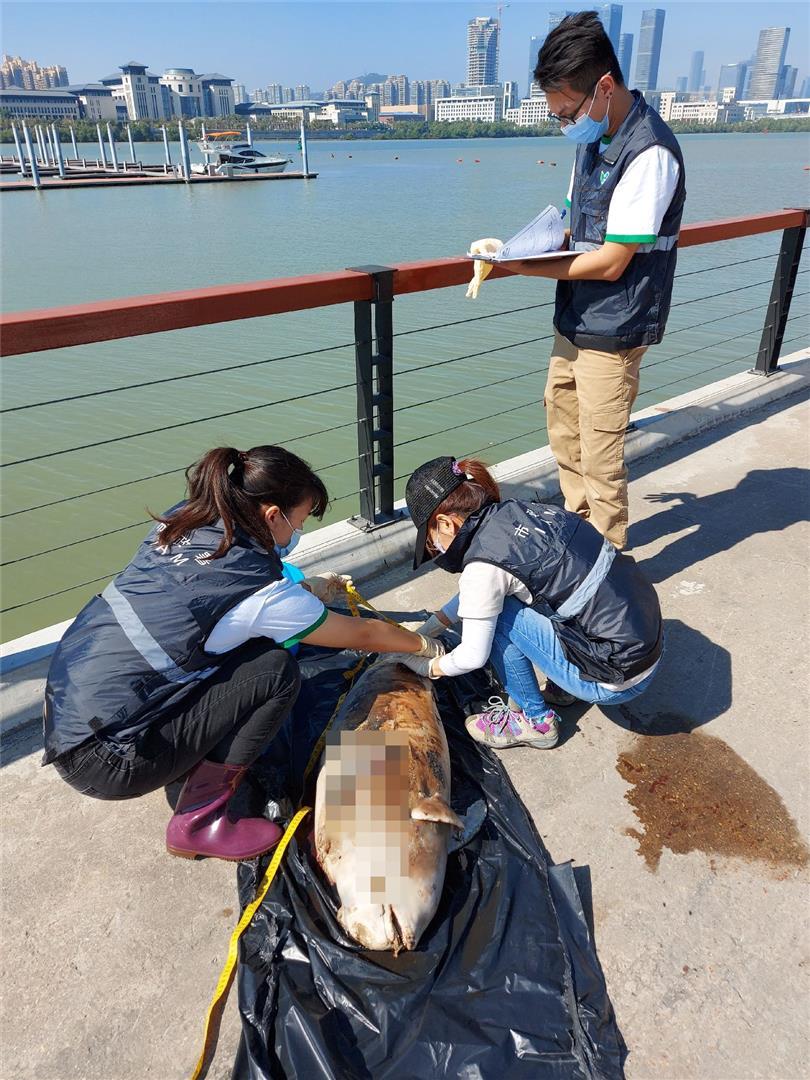 路环谭公庙附近海面发现江豚屍体