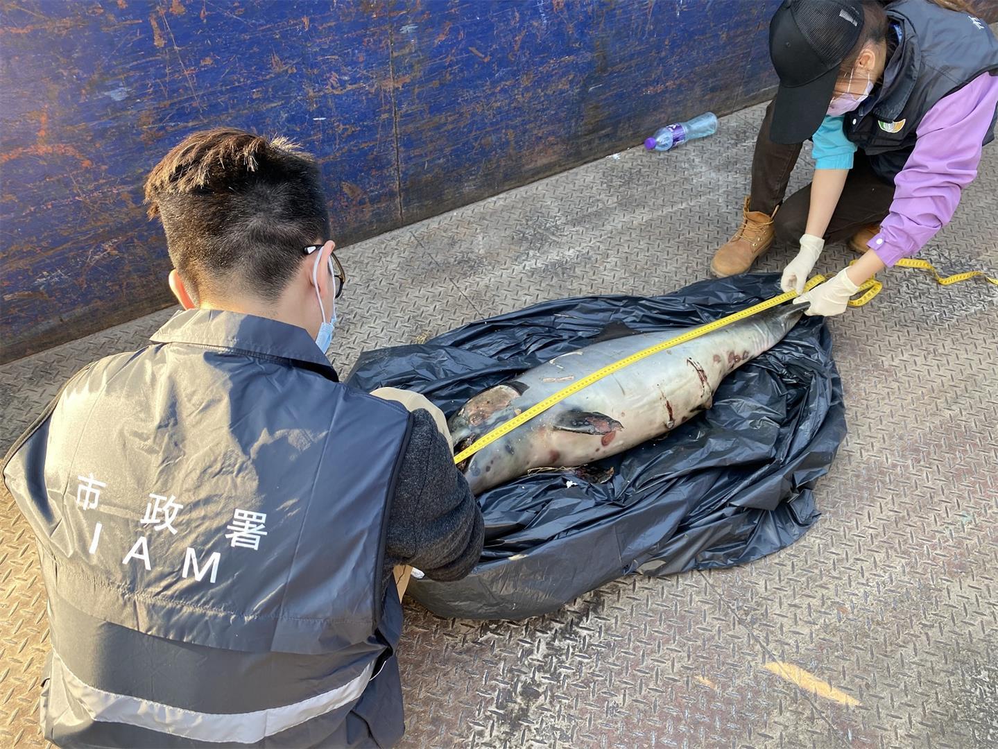 澳门机场跑道附近发现中华白海豚屍体