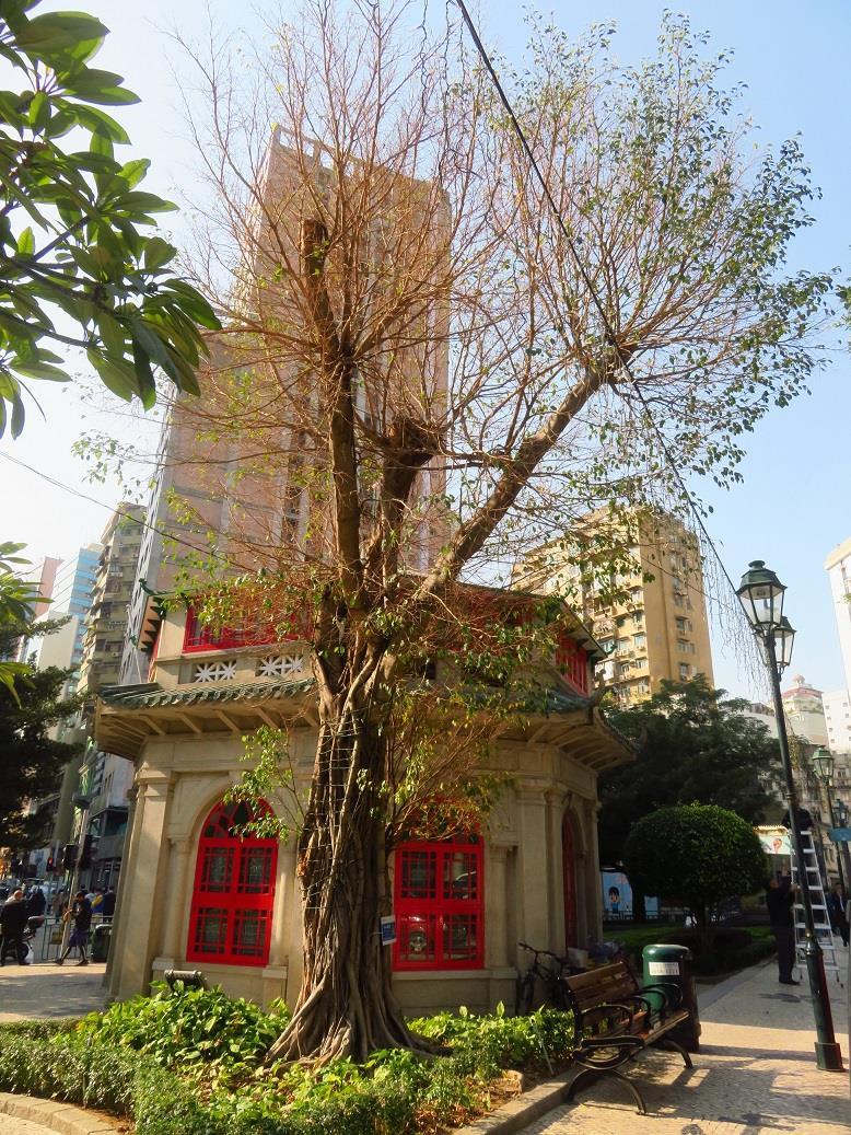 市政署周四移除八角亭旁褐根病树