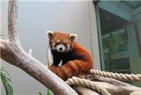 Fact file on red panda