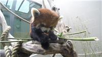 Red panda with extraordinary skills