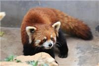Crisis facing red pandas