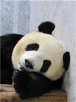 Os pandas gigantes são os embaixadores universais da paz