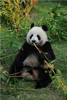 Why do Giant Pandas love bamboo?