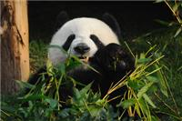 Activity time for the Giant Panda