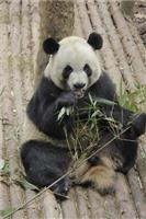 Are all kinds of bamboo suitable food for the Giant Panda?