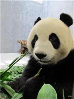 Fussy Giant Pandas