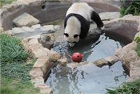 Giant Pandas love water