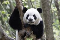 When the Giant Panda sleeps