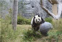 """""""威猛""""的大熊貓"""