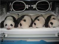 Was the Giant Panda ever known as the Lesser Panda?