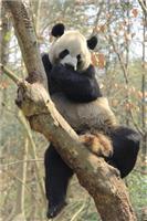 大熊貓是爬樹高手