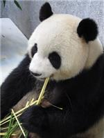 除了食竹葉外,大熊貓也會吃竹的桿